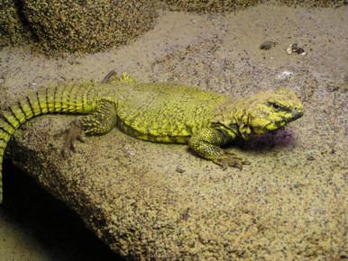 Geyri Yellow Uromastyx - Uromastyx geyri