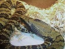 False Water Cobra Snake - Hydrodynastes gigas