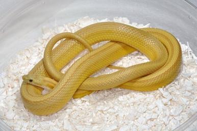 Amber Cornsnake - Elphae guttata guttata
