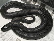 Black Cornsnake - Elphae guttata guttata