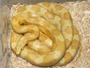 Butter Cornsnake - Elphae guttata guttata