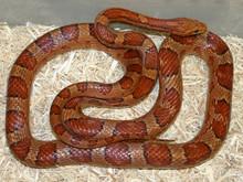 Normal Cornsnake - Elphae guttata guttata