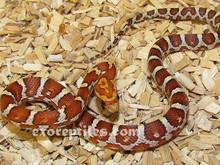 Normal Stripe Cornsnake - Elphae guttata guttata