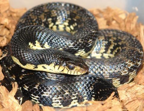 Madagascar Giant Hognose Snake - Leioheterodon madagascariensis ...