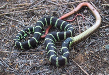 Jungle Yearlings Kingsnake - Lampropeltis getula californiae