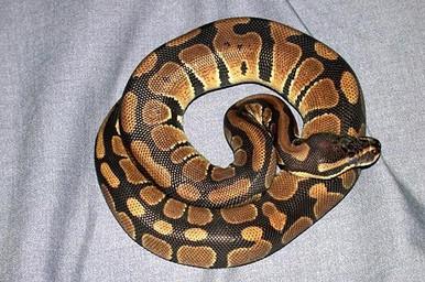 Ball Babies Python - Python regius