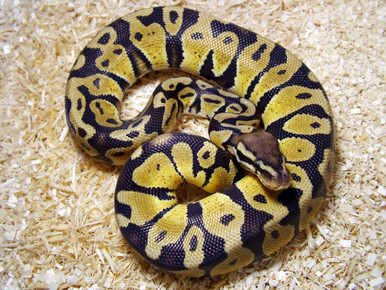 Reticulated Python - Python regius