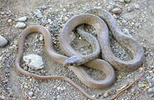 Egyptian Flower Racer Snakes - Platyceps florulentus