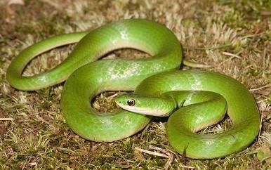 Green Snake - Opheodrys vernalis - Smooth Green Snakes