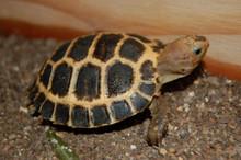 Forstens Tortoise - Indotestudo forsteni