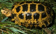 Forstens Tortoise (Adult) - Indotestudo forsteni