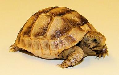 Golden Greek Tortoises - Testudo graeca ibera