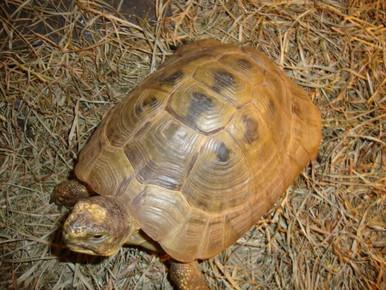 Golden Greek Tortoises (Adult) - Testudo graeca ibera