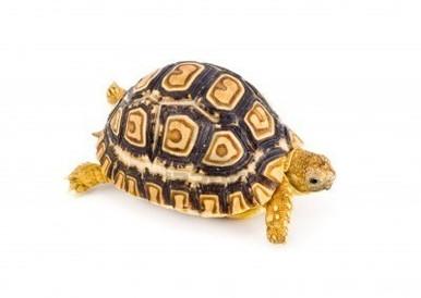 Leopard Tortoise - Geochelone pardalis