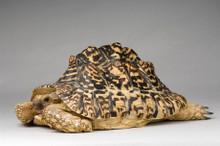 Leopard Tortoise (Adult ) - Geochelone pardalis