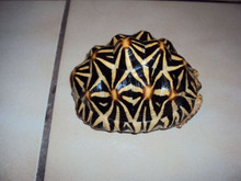 Sri Lankan Star Tortoises - Geochelone Elegans