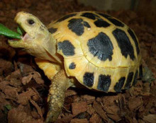 High Yellow Forstens Tortoise - Indotestudo forsteni