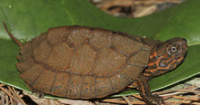Asian Leaf Turtle - Cyclemys dentata