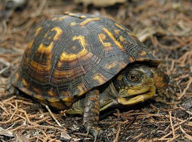 The Eastern Box Turtle - Terrapene carolina - Eastern Turtle