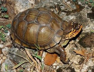 3-Toe The Three-Toed Box Turtle - Terrapene carolina triunguis - Three-Toed Turtle