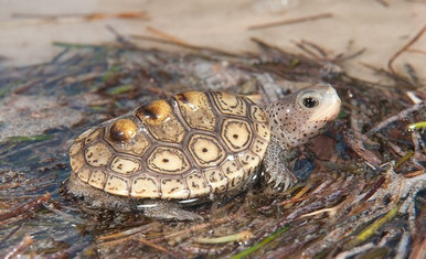 Ornate Diamondback Terrapin - Malaclemys terrapin - Diamondback Concentric Turtle