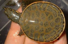 Florida Soft Shelled Turtles - Apalone ferox - Florida Soft Shelled Turtles