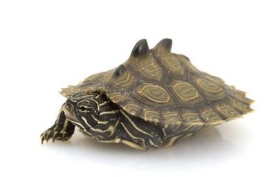 Northern Black Knobbed Map Turtle - Graptemys nigrinoda - Northern Map Turtle