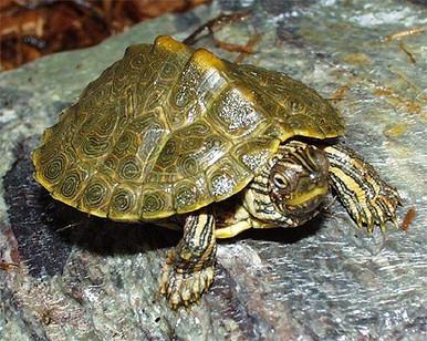 Texas Maps Turtles - Graptemys versa