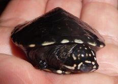 African Keeled Mud Turtle - Pelusios carinatus