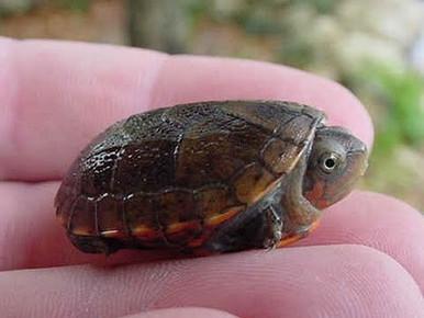 Red Cheeked Mud Turtles - Kinosternon scorpioides cruentatum - Red Cheeked Turtles