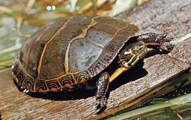 Midland Painted Turtle - Chrysemys picta marginata