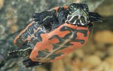 Northern Red Bellied Turtles - Pseudemys Rubriventris - Northern Red Turtles