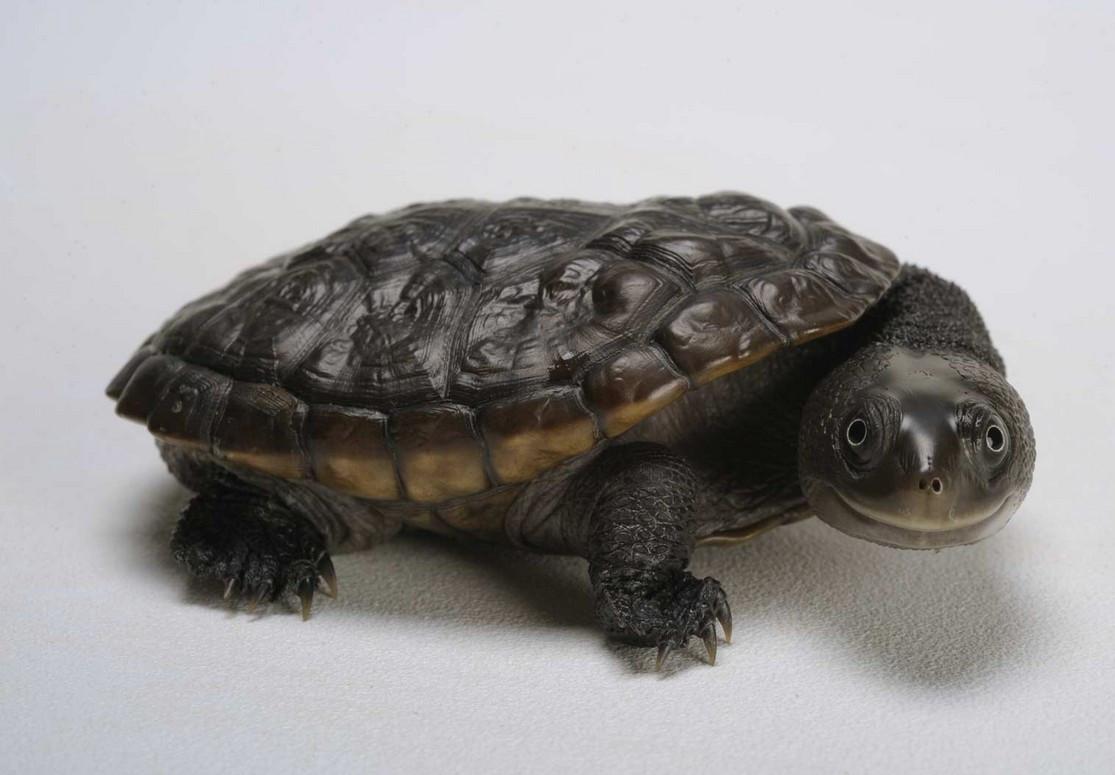 Reimann's Snake Necked Turtle - Chelodina reimanni - Reimann's ...