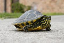 Peninsula Cooter Turtles - Pseudemys floridana peninsularis
