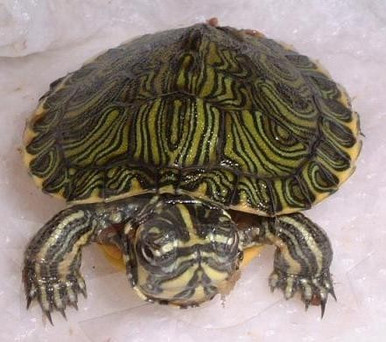 Yellow Bellied Sliders - Trachemys scripta scripta - Yellow Bellied Sliders Turtles