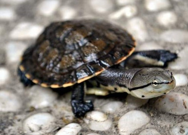 Argentine Side Necked Turtle - Phrynops hilarii - Spot-Bellied Turtle