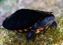 Kwangtung River Turtles - Chinemys nigricans