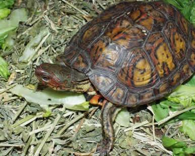 Painted Wood Turtles - Rhinoclemmys pulcherrima manni - Central American Ornate Wood Turtles