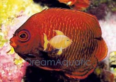 Golden Angelfish - Centropyge aurantius, Centropyge aurantia - Golden Angel Fish