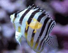 Multi-Barred Angelfish - Centropyge multifasciata - Multi-Barred Angel Fish