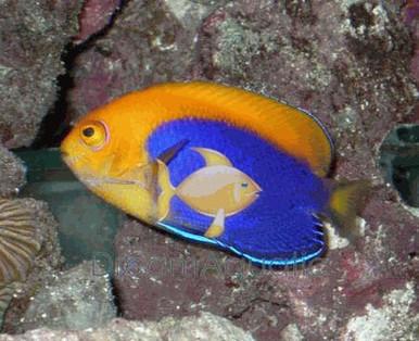 Pygmy Yellowtail Angelfish - Centropyge flavicauda - Pygmy Yellowtail Angel Fish