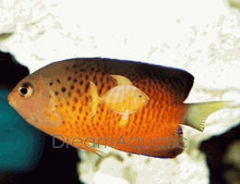Rusty Angelfish - Centropyge ferrugatus - Rusty Angel Fish