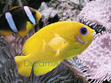 Yellow Angelfish - Centropyge heraldi - Herald's Angel Fish