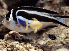 Bellus Female Angelfish - Genicanthus bellus - Bellus Angel fish - Ornate Angelfish
