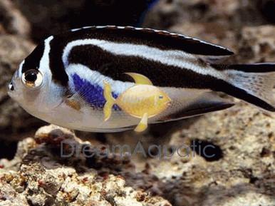 Bellus Female Angelfish - Genicanthus bellus - Bellus Angel fish - Ornate Angelfish