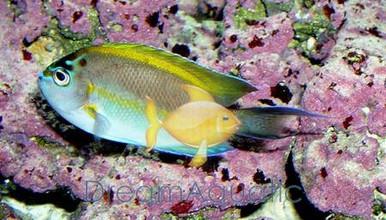 Bellus Male Angelfish - Genicanthus bellus - Bellus Angel fish - Ornate Angelfish