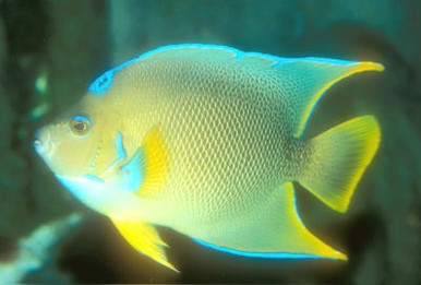 Blue Angelfish - Holocanthus bermudensis - Blue Angel Fish