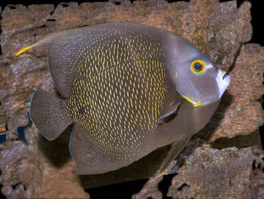 French Angelfish - Pomacanthus paru - French Angel Fish