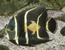 French Angelfish Juvenile - Pomacanthus paru - French Angel Fish