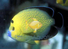 Goldflake Angelfish - Apolemichthys xanthopunctatus - Goldflake Angel Fish